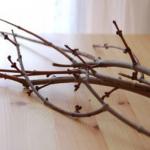 さくらの枝